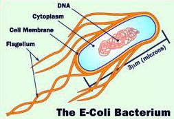 Escherichia coli body